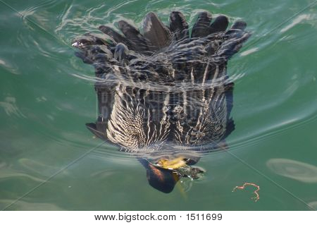 Cormorant Surfacing