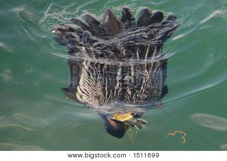 Cormorant Surfacing