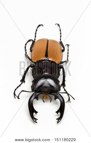 Stag Beetle (odontolabis Mouhoti ) Male