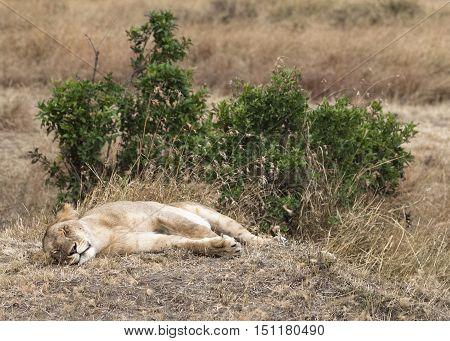 African lioness sleeping in shadow, Kenya, Masai Mara reserve