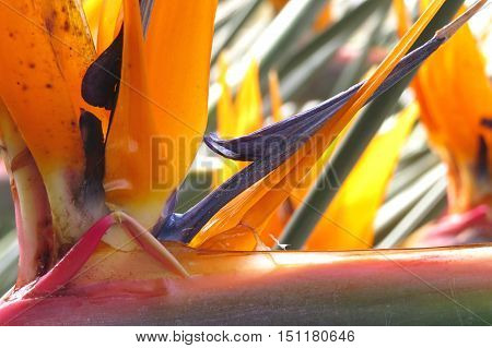 Bird-of-paradise exotic and tropical flower with orange and purple petals.