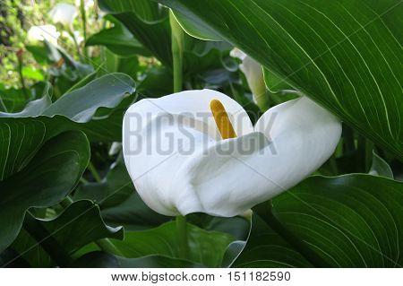 White calla lily flower in a garden
