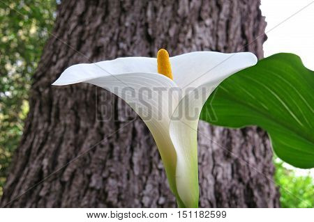 White calla lily in a garden near a tree in Springtime
