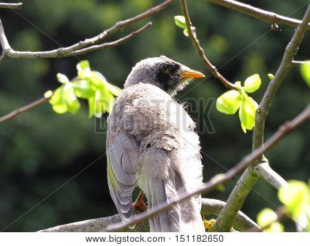 Fledgling miner bird sitting on a tree branch