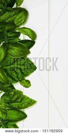 Vertical Border of Fresh Green Lush Foliage Basil Leafs closeup on White Plank background