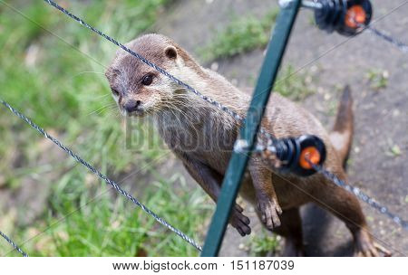 Otter In Captivity Is Looking Through The Fence Of It's Cage