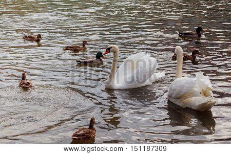 Beautiful White Swans With Orange Beak On A Water