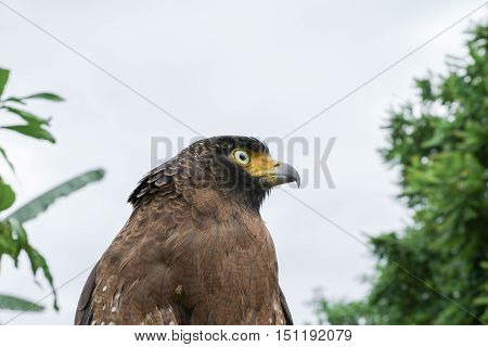 Falcon Peregrine or golden eagle Closeup sitting on hand