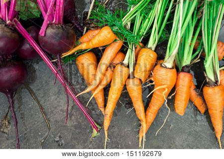Wet beets and carrots on the wet ground. Harvest vegetables background top view