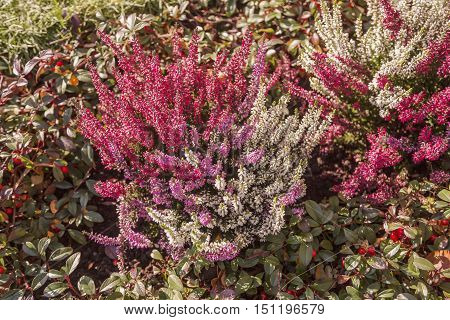Colorful blooming common heather (Calluna vulgaris) blossoming outdoors in autumn garden. Czech rural