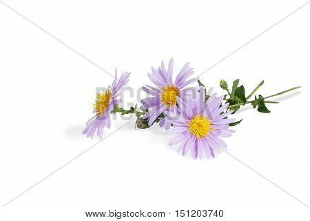closeup bouquet of Michaelmas daisies (botanical name: Aster novi-belgii or Symphyotrichum novi-belgii) also known as New York asters isolated on white