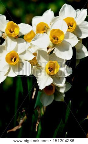Heap of Wild White Daffodils on Blurred Natural background Outdoors. Focus on Foreground