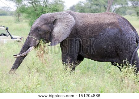 African bush elephant (Loxodonta africana) grazing in the meadows of the savannah in Tarangire National Park, Tanzania.The African bush elephant is the largest and heaviest land animal on earth.