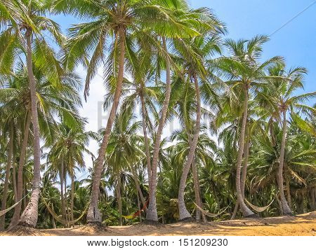 Palm trees coconut in Samana Peninsula that surrounds the Playa Rincon in the northeast of the Dominican Republic.