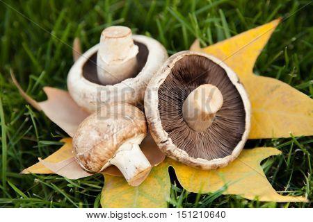 Champignon, Portobello and Crimini Mushroom on a Maple Leaf