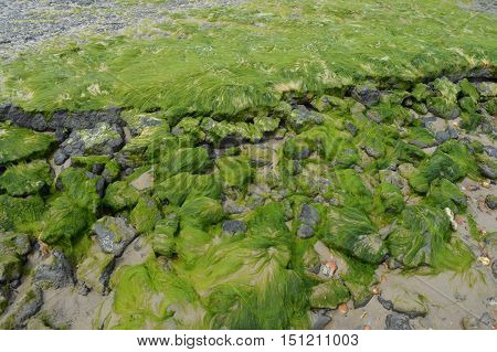 Algae on the beach with rocks in Nord France