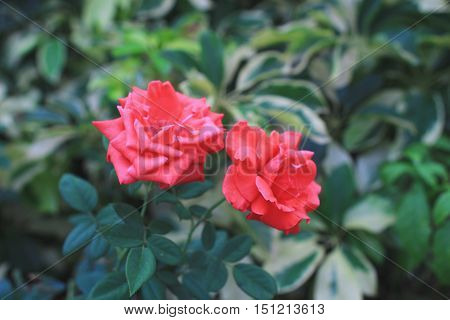 The Group Of Ixora Chinensis