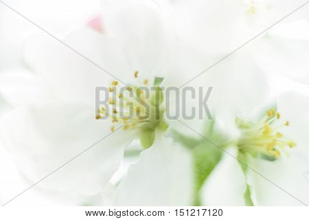 Closeup white flowers background isolated on white