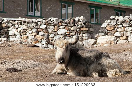 White and grey yak which is lying outside of lodge in nepalese himalayas Everest area Nepal