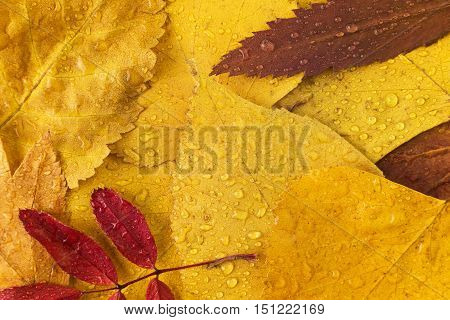 autumn leaves with drops of water closeup