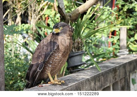 Falcon Peregrine  beautiful  or golden eagle Closeup