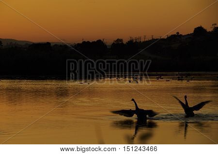 Golden sunrise at Tamar river with geese
