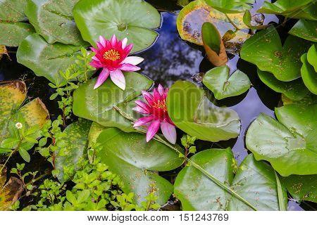 Close Up Of Beautiful Pink Water Lilies On Pond. Kerikeri, New Zealand.