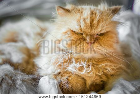 serious ginger persian cat on bed close up