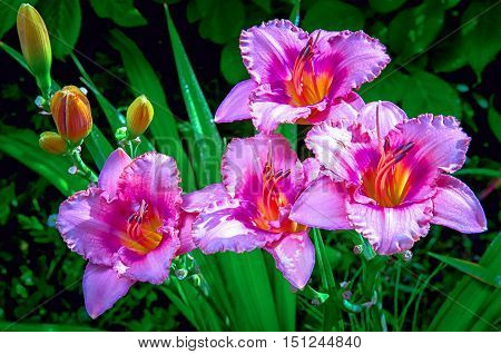 Pink Daylily blooming in a garden close up