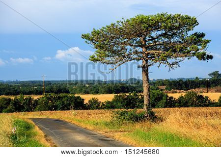 huge pine at the middle of a grass field in the afternoon