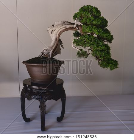 Tokyo - June 2016: Bonsai displayed at Meiji Shrine.