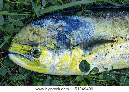 Fresh big fish on the grass. Head close-up.