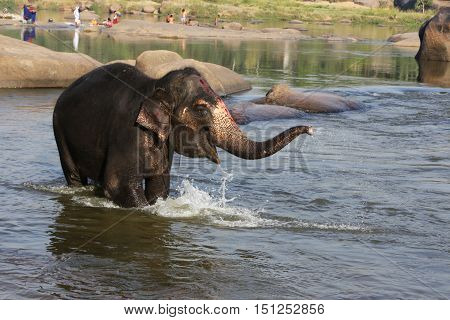 Beautiful Indian sacred elephant in the morning bought in the river in Hampi Hampi