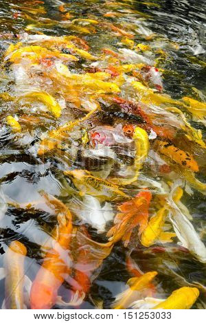 Koi Fish In Pond,colorful Natural Background,faded Color
