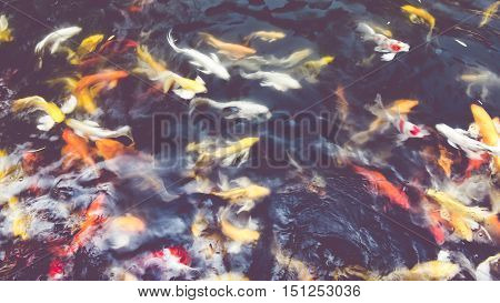 Vintage Filter : Koi Fish In Pond,colorful Natural Background,faded Color