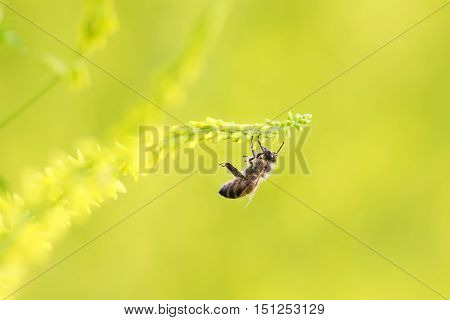little honey bee flies up to the yellow flower for nectar