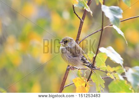bright green bird sitting on the branch of a birch tree with autumn leaves