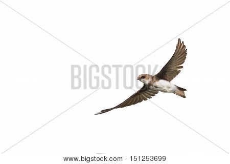swallows in flight with outspread wings on white isolated background