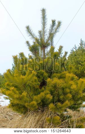 Young pine tree in a winter forest