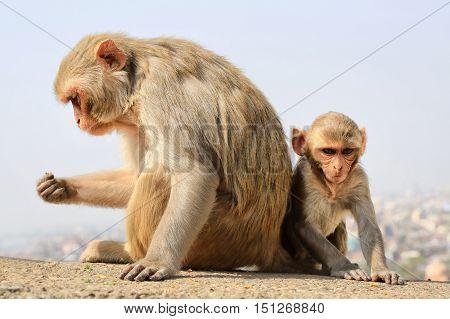 India Rajasthan Jaipur indian monkeys with baby taken in Galata