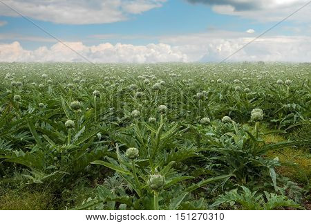 Field of artichokes plant grow Breton Brittany France