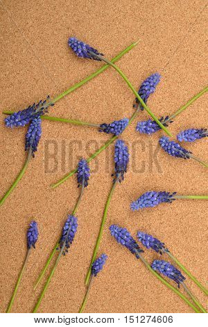 Many Blue Grape Hyacinth On Cork Background. Studio Lights And Shadows. Purity And Tenderness. Copy