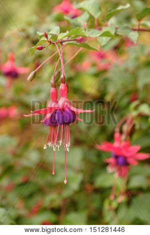 The hanging flowers of a beautiful exotic pink and purple fuchsia