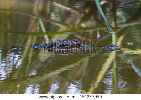 Wild Crocodile On The River
