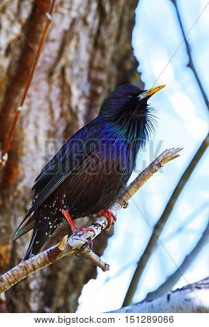 Blackbird with blue-black glossy plumage of sitin on a tree branch (Myiophones coeruleus)