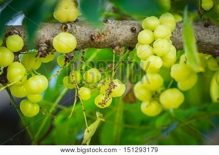 The star gooseberry fruit on the tree.