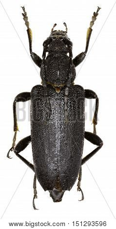 Large Black Longhorn Beetle on white Background  -  Stictoleptura scutellata (Fabricius 1781)