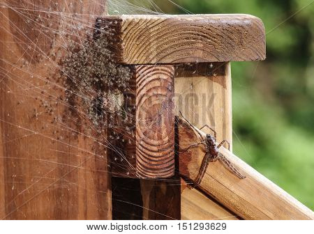 Mother Grass Spider with her scores of innumerable just hatched baby spiders in a web located on a wood deck hand rail