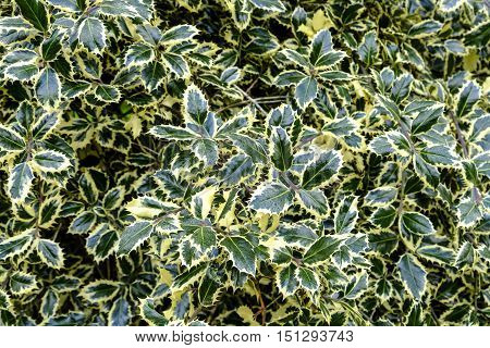 Beautiful shiny leaves of the variegated holly Ilex aquifolium with its mass of bright green and cream foliage