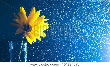Yellow wild flower in a glass vase with water spray contre on a dark background. Images for backgrounds and printed materials.